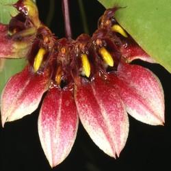 Bulbophyllum lepidum