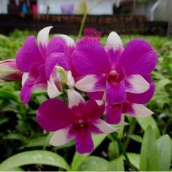 Dendrobium Venus Mini