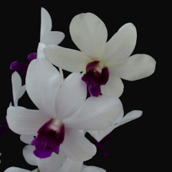 Dendrobium White Blue Lip