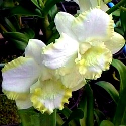 Dendrobium White Cat