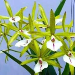 Cattleya Pleonpid Star