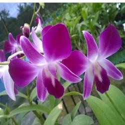Dendrobium Sonia Earsakul